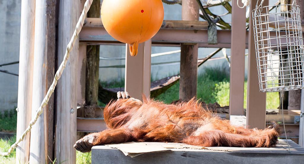 仰向けで寝ているオランウータン