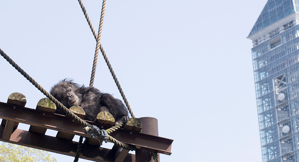 気持ち良さそうに寝ているチンパンジー