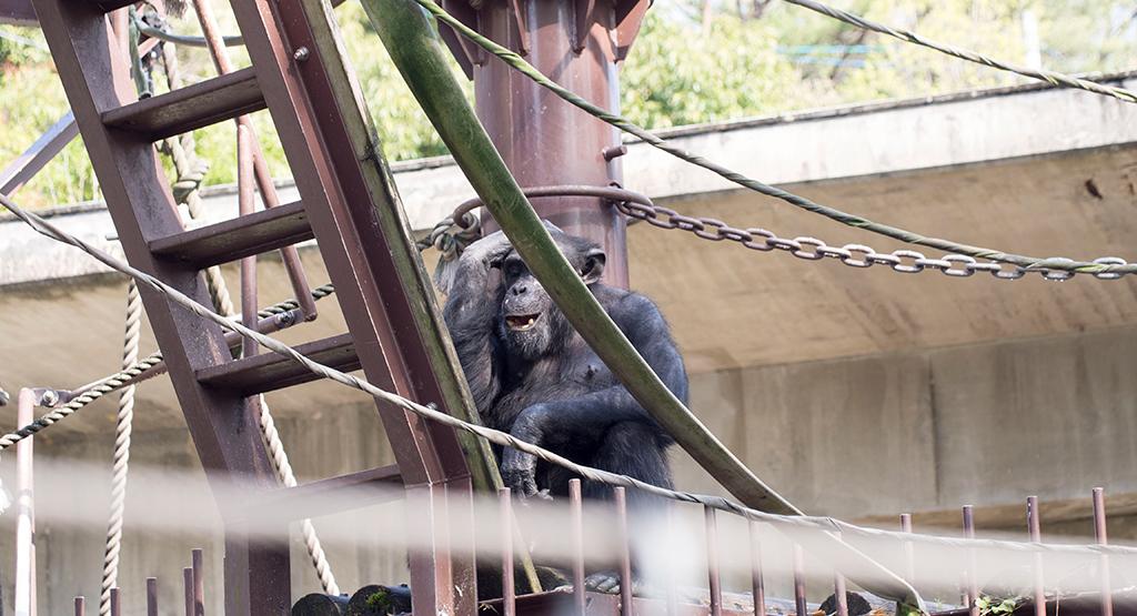 悩んでそうなチンパンジー