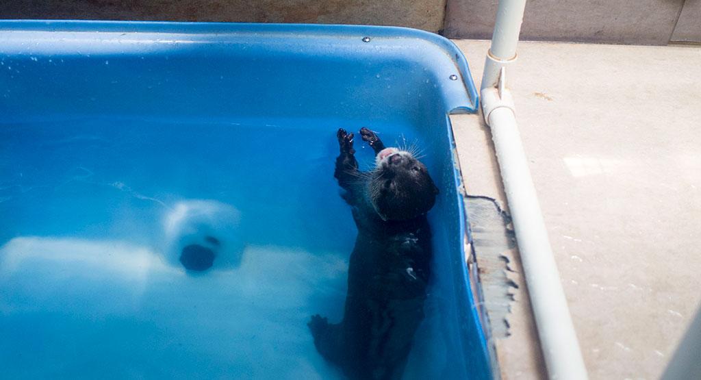 水槽で泳ぐカワウソ