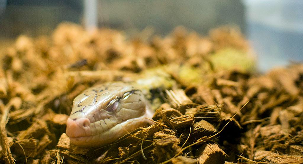 目をつぶって寝てるトカゲ