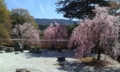 岩倉実相院の桜