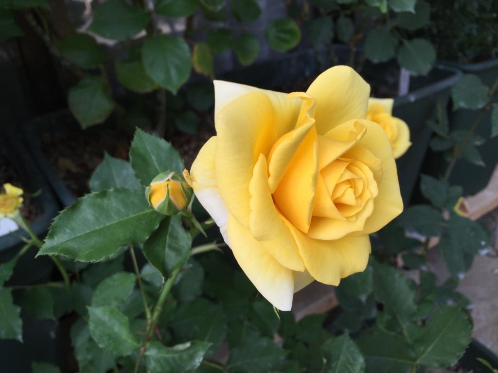 f:id:rosegarden2017:20170522211912j:plain