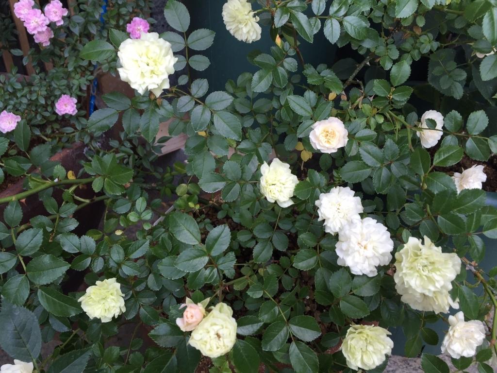 f:id:rosegarden2017:20170611123246j:plain