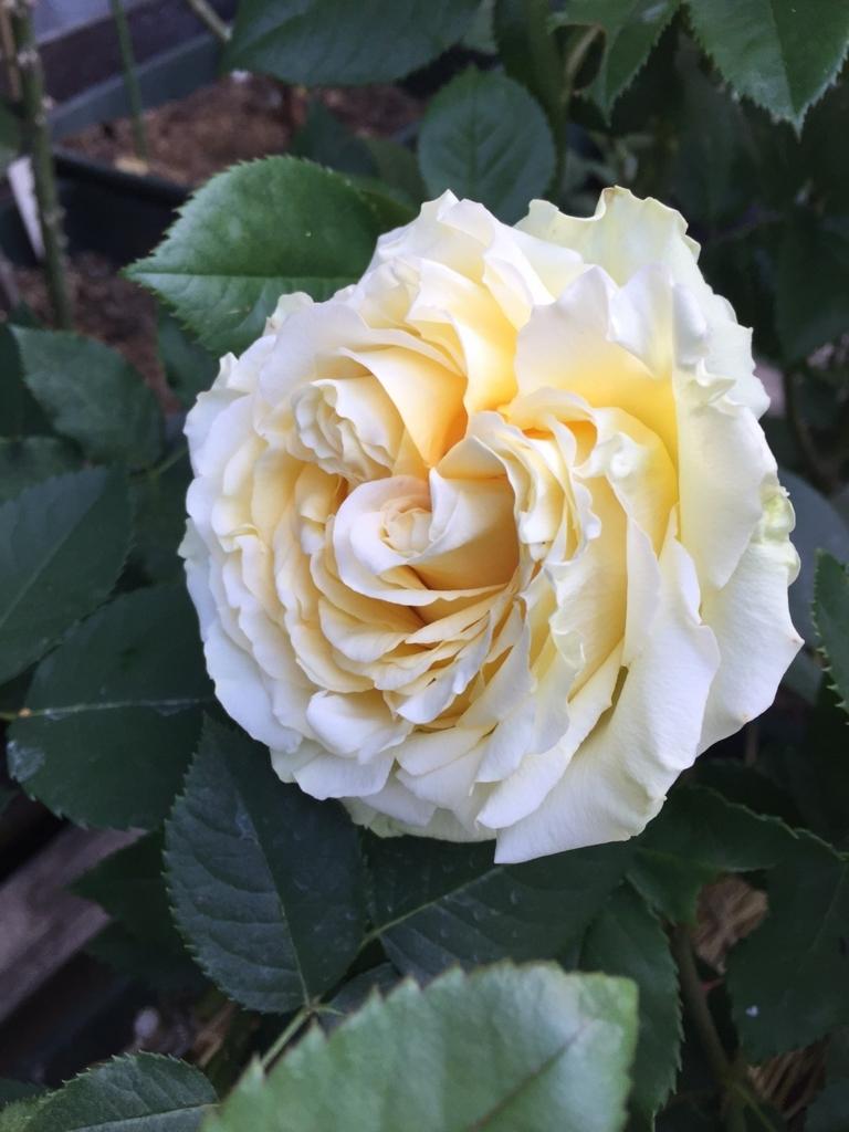 f:id:rosegarden2017:20170611123527j:plain