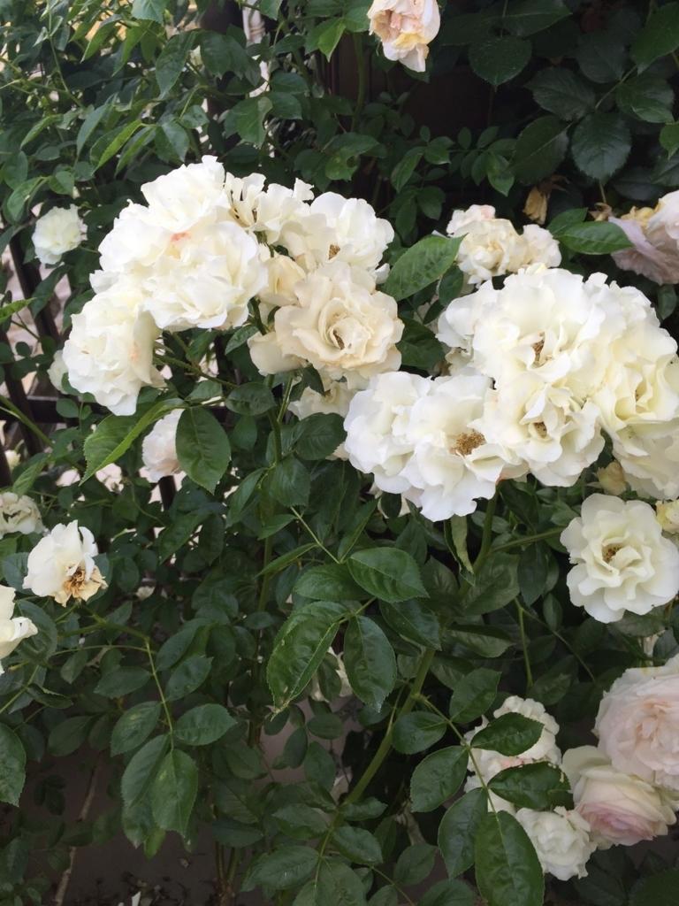 f:id:rosegarden2017:20170611123644j:plain