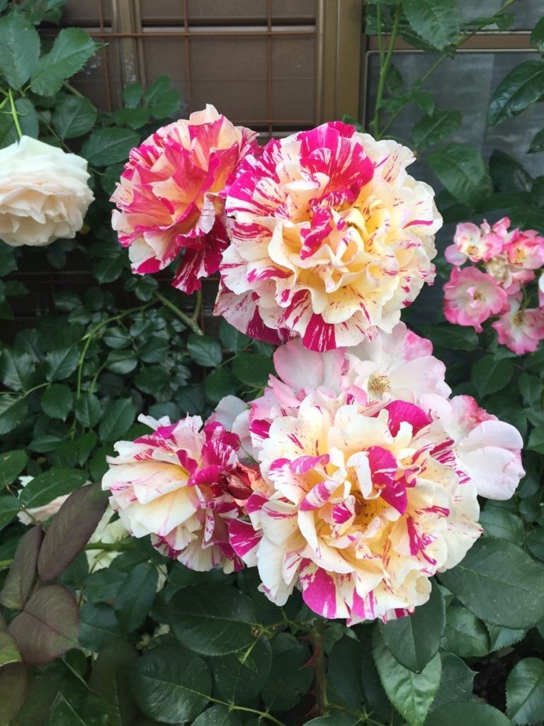 f:id:rosegarden2017:20170611123925j:plain