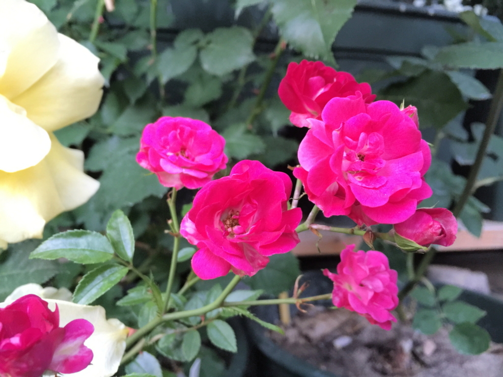 f:id:rosegarden2017:20170611124253j:plain