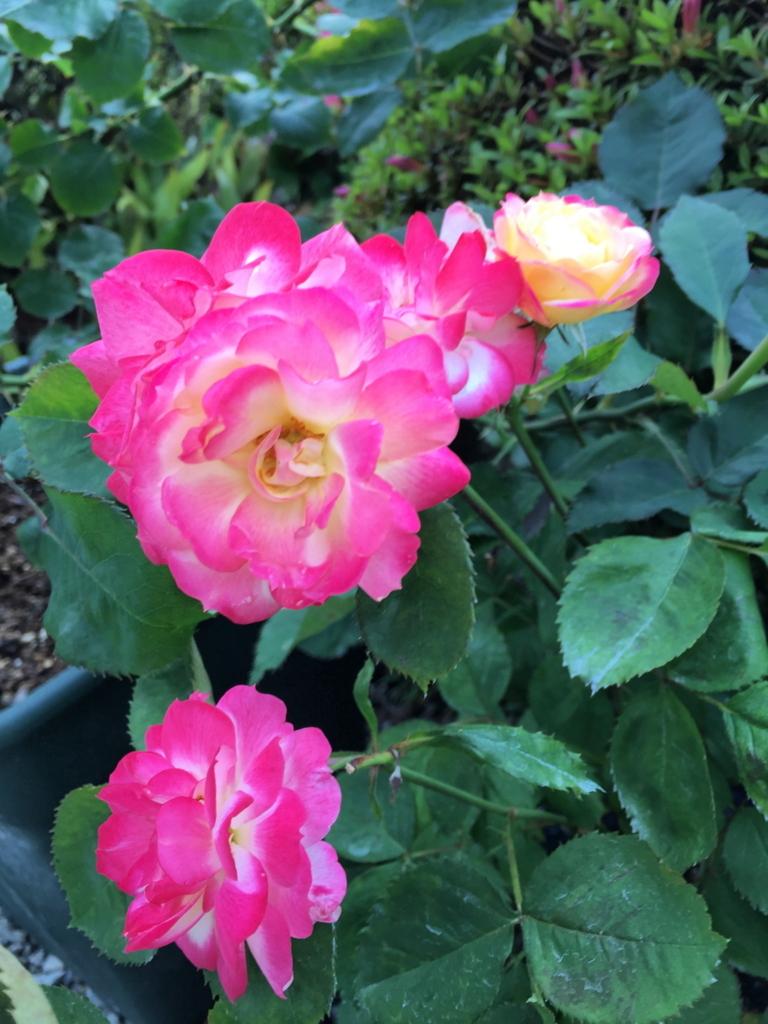 f:id:rosegarden2017:20170611124526j:plain