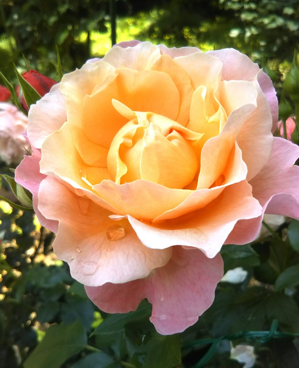 f:id:roseriche:20200529104823j:plain
