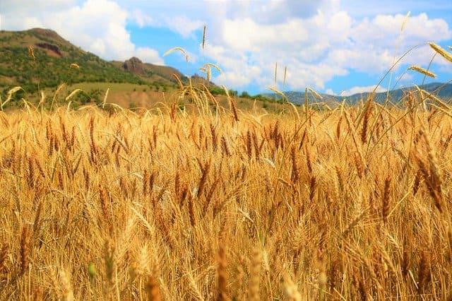 品種改良小麦