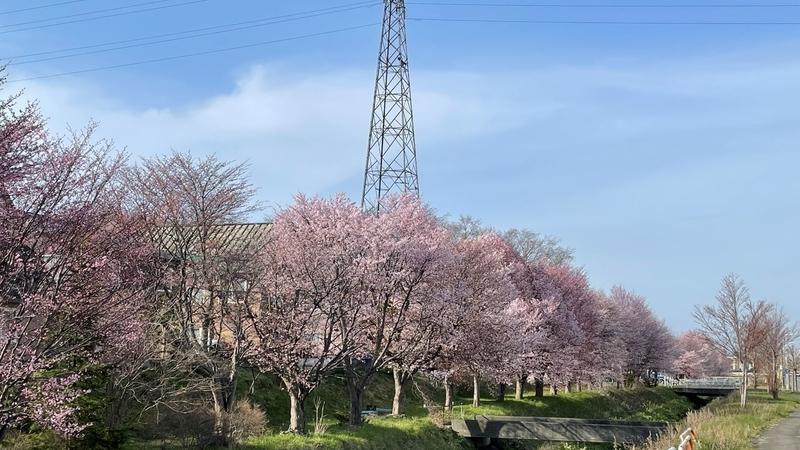 道央圏の桜