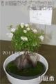 第13回国際バラとガーデニングショウ2011 コンテスト鉢バラ部門