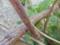 リンゴ カミキリ