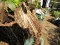 鉢の雑草の根