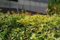 ヒイラギの垣根 新芽