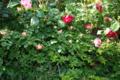 春風 つるクリムゾングローリー