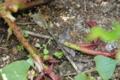 カージナルのベーサルシュート 害虫に食われる
