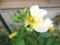 ハマナス 黄花