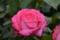[バラ][バラ園][グリーンパーク][グリーンパーク2014春]