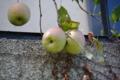 りんご 2014