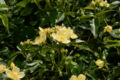 黄モッコウバラ一重
