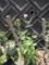 キョウチクトウとアザミ