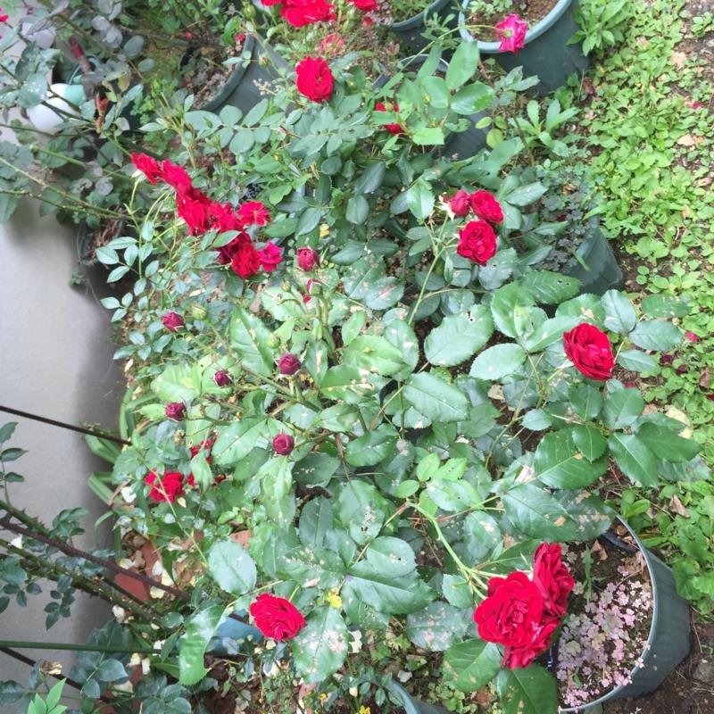 赤バラ いろいろ