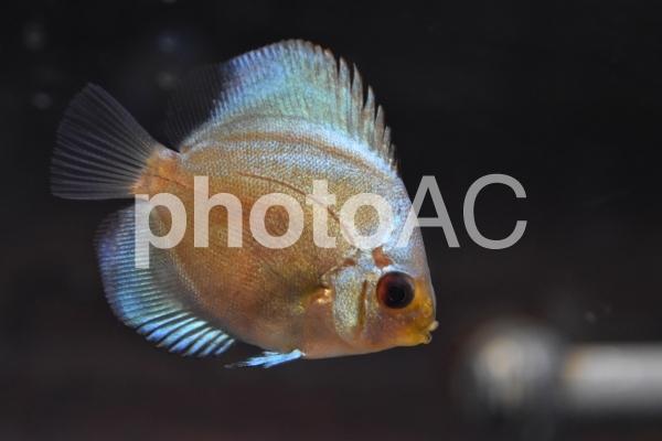 ダウンロードされたディスカスの稚魚の写真