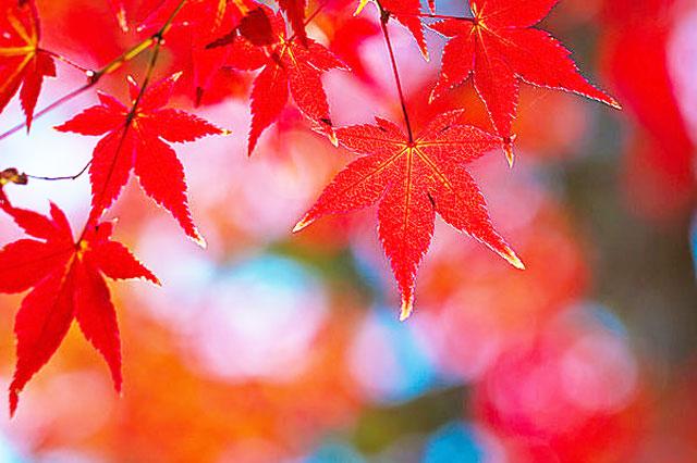 二十四節気、大雪の紅葉