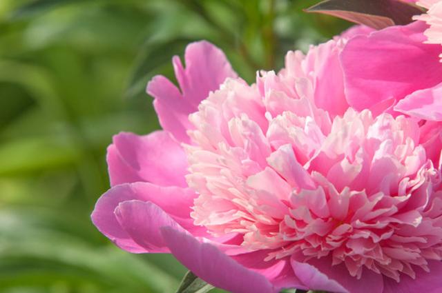 二十四節気  5月21日より小満。おすすめ魔法ハーブは芍薬とセージ