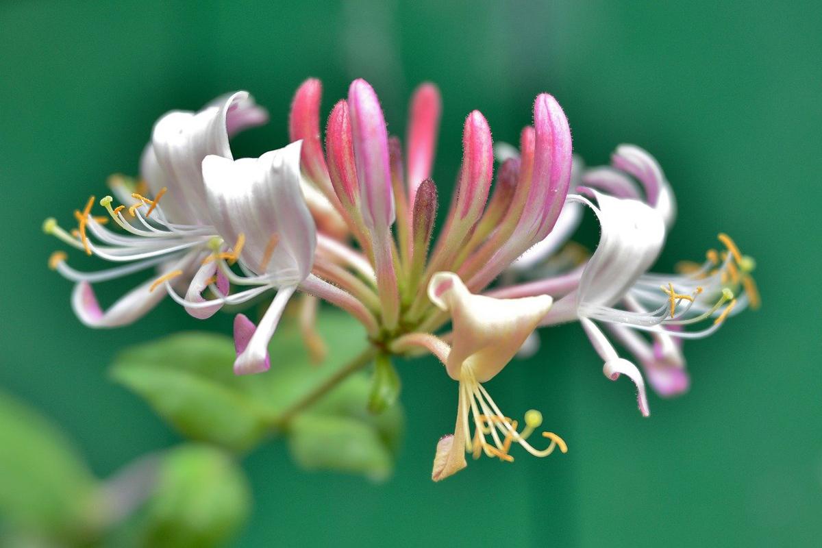 二十四節気 6月5日より芒種。魔法ハーブはハニーサックルとガーデニア。