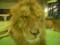 円山動物園のライオン