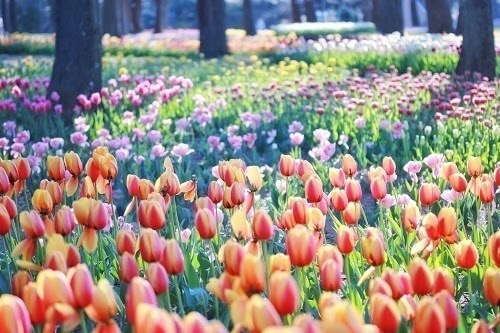 チューリップ。春