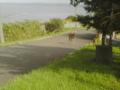 稚内公園周辺をドライブしていたら野性のエゾシカが飛び出してきた!