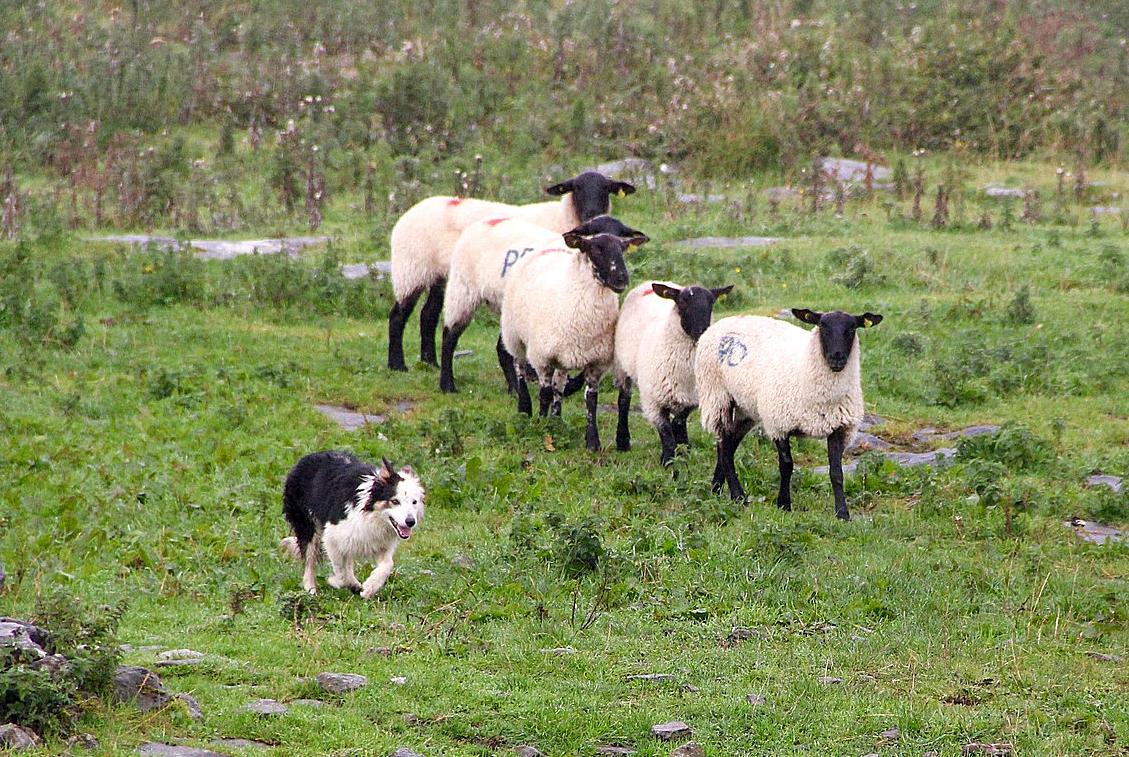 犬におびえる羊