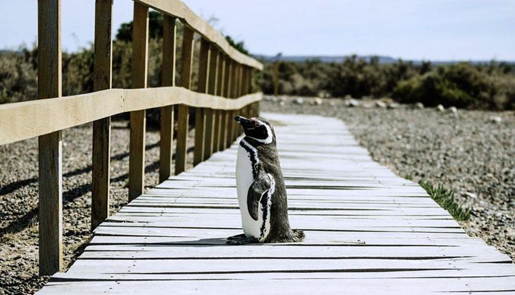 目の前の柵にどうしようか立ち止まっているペンギン