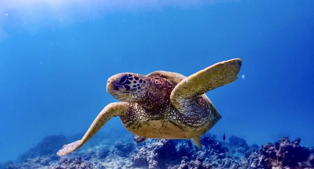 サンゴ礁に住むウミガメ