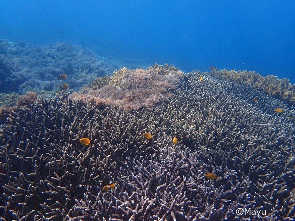 バリ ドリフトダイビング サンゴ