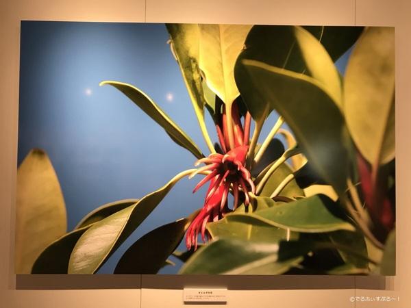 オヒルギ(マングローブ)の花