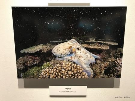 サンゴの産卵を眺めるタコ