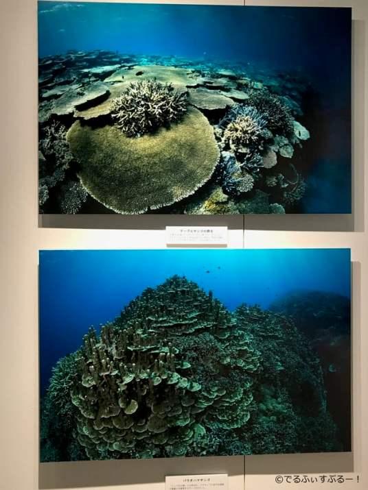 辺野古のサンゴ