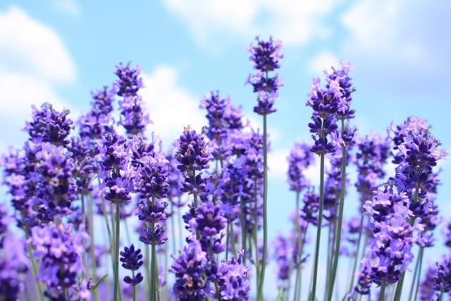 ラベンダーの優しい花