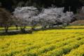京都新聞写真コンテスト 桜と菜の花の共演