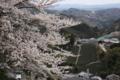 京都新聞写真コンテスト 茶源郷・和束の春