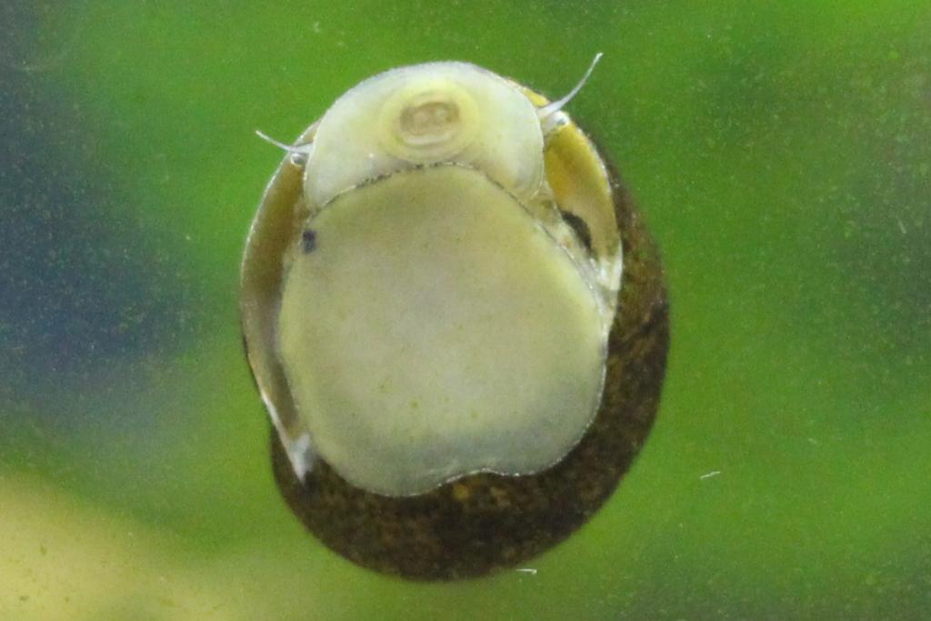 ガラス面のコケを食べるイシマキガイ