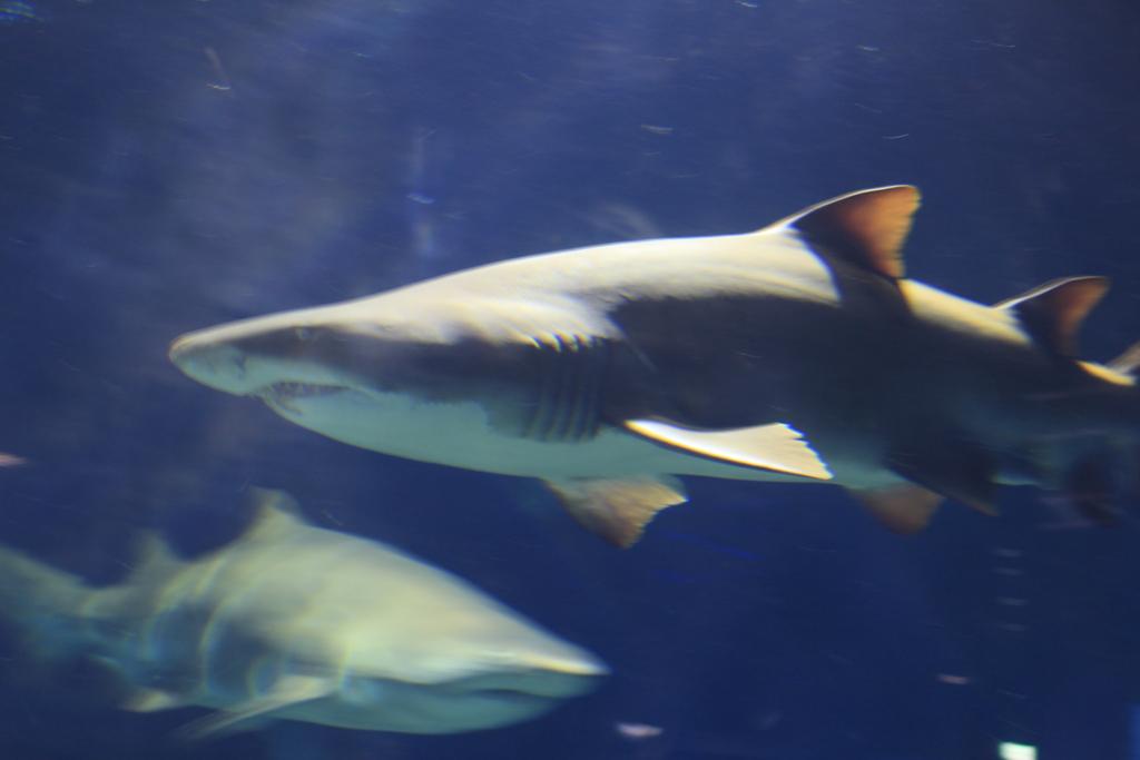 アクアワールド大洗のサメ