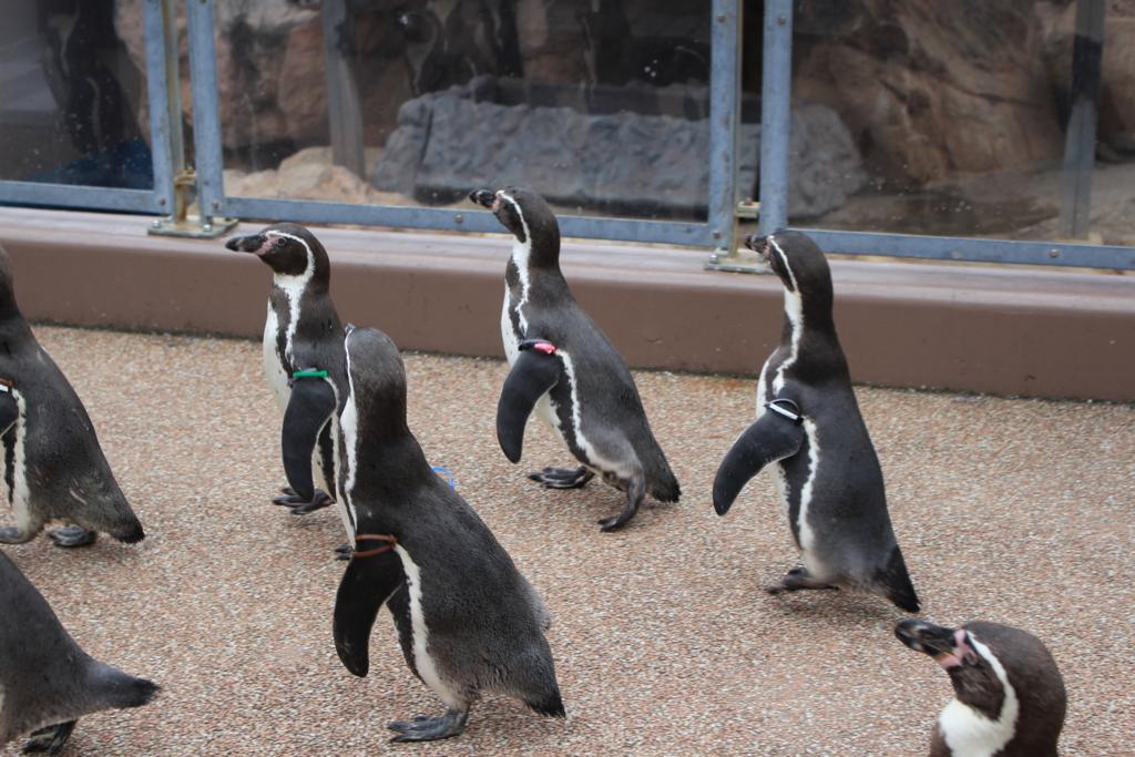アクアワールド大洗のペンギン