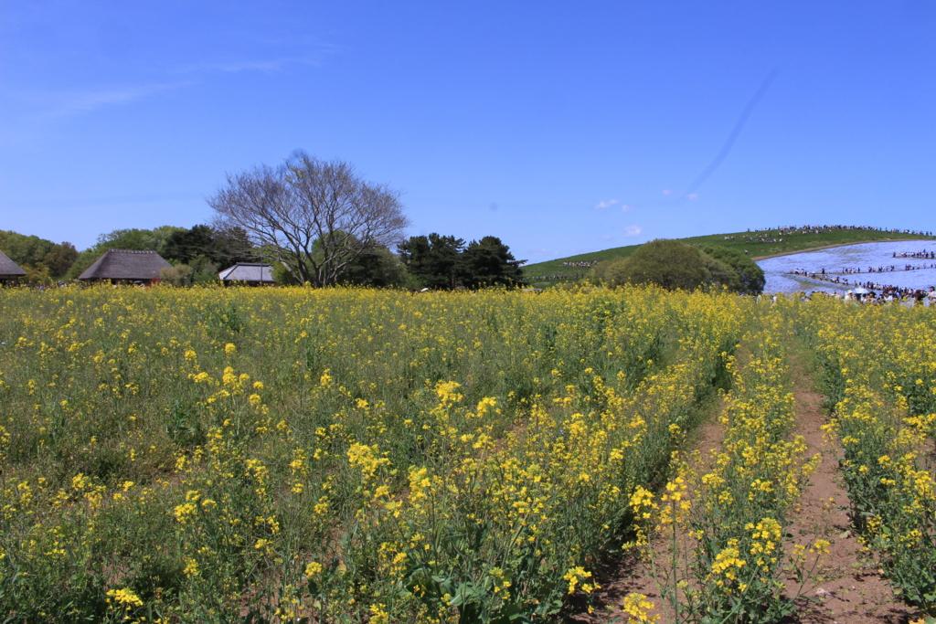 ネモフィラの丘の近くには菜の花
