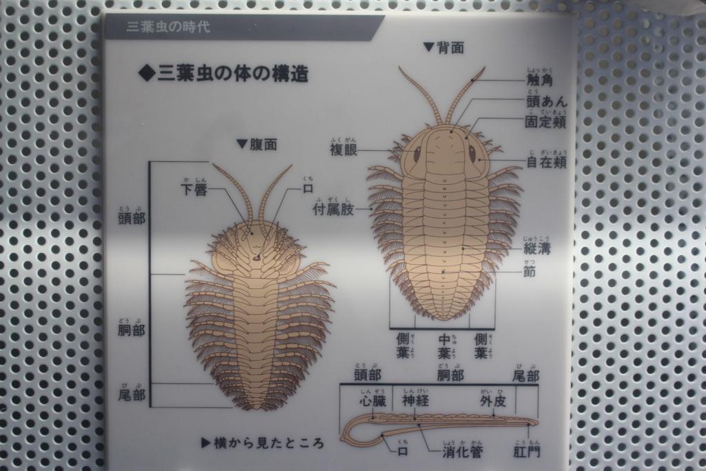 三葉虫を説明している図